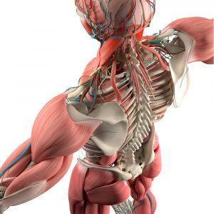 Muskuloskeletal Decline